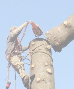 SCS tree removal job