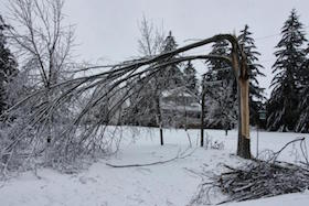 Ice-damaged-tree
