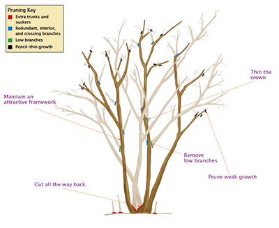 how to prune a crepep myrtle