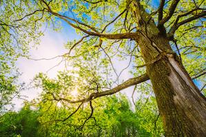 Georgia-Tee-Service-oak-tree
