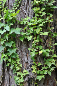 english-ivy-removal-from-trees
