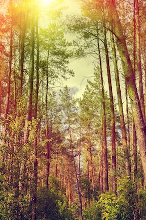 Woodstock Georgia Pine Tree Removal