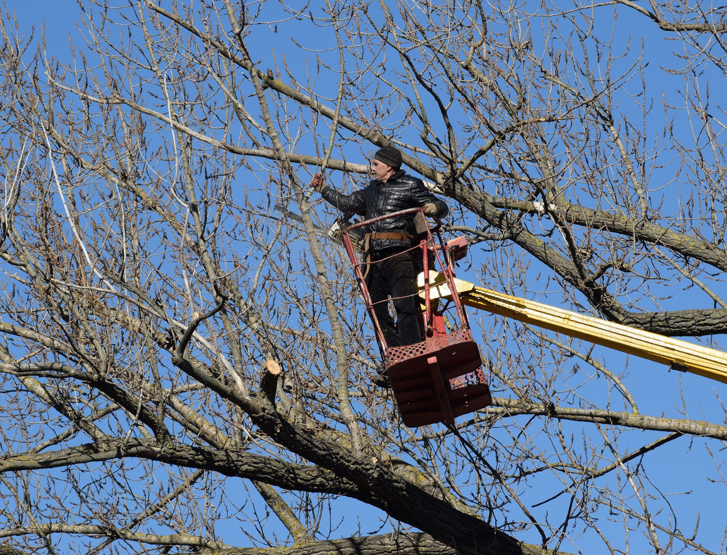Professional tree service removing dead branches off of several trees